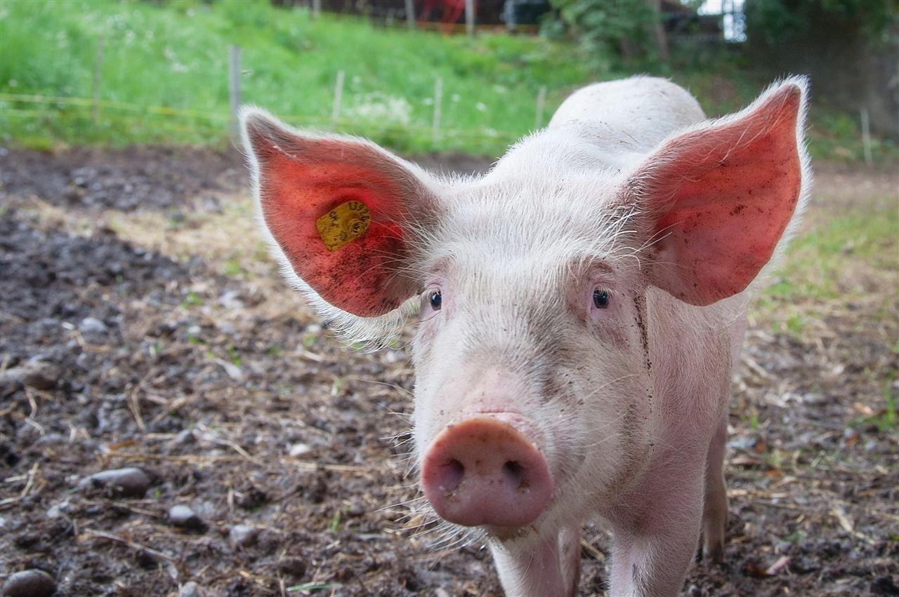 病死豬流入市場 科學儀器助力加強監管