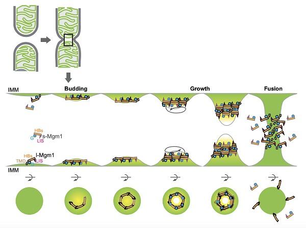 生物物理所等在线粒体膜融合研究方面获进展