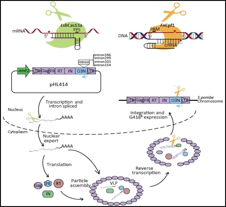 利用RNA編輯策略實現對逆轉錄轉座子的編輯干預